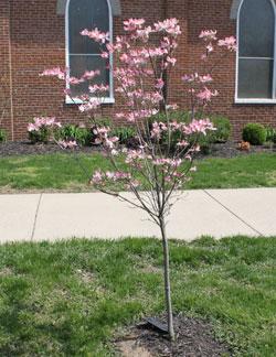 Richard's dogwood in full bloom.